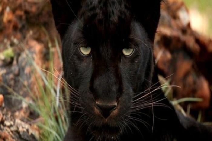 62+ Gambar Macan Hitam Terbaik