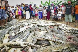 Massa Indonesia Membunuh 300 Buaya yang Mencari Pembalasan Atas Kematian Manusia