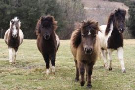 Jenis Kuda Peliharaan Populer di Dunia