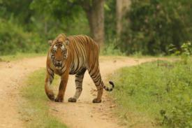 Boni Si Harimau yang Malas Bertemu Manusia