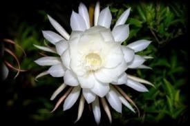 Mitos Tentang Bunga Sedap Malam