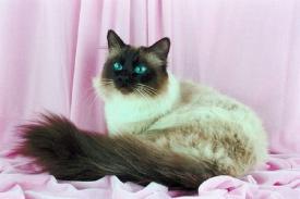 Ciri Serta Keunikan dari Kucing Persia Himalaya