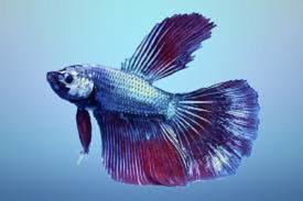 Keuntungan Memelihara Ikan Cupang