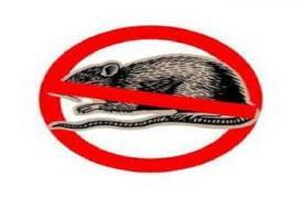 Cara Alami Mengusir Tikus  dengan Tanaman Anti Tikus